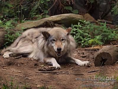 Wolf Resting Art Print by Frank Piercy