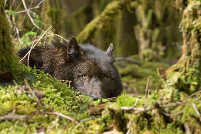 Wolf Rests In A Mossy Bed On The Art Print