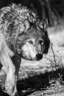 Wolf - Sneaking Art Print