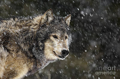 Wild Photograph - Wolf - Snow Storm by Wildlife Fine Art