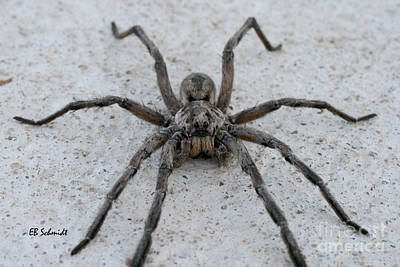 Photograph - Wolf Spider by E B Schmidt