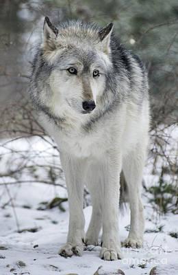 Wolf Spirit Original