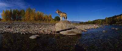 Wolf Standing On A Rock Art Print by Panoramic Images