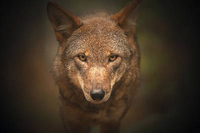 Photograph - Wolf Stare by Karol Livote