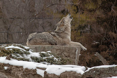 Mellow Yellow - Wolf Talk by Thomas Sellberg