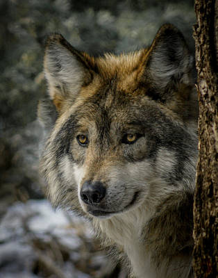 Mexican Wolf Photograph - Wolf Upclose 2 by Ernie Echols