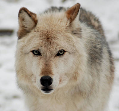 Photograph - Wolf Watch by Richard Bryce and Family