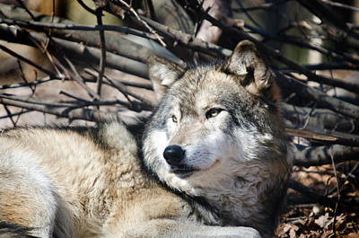 Crystal Wightman Rights Managed Images - Timber Wolf Royalty-Free Image by Crystal Wightman
