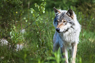 Photograph - Wolf by Yngve Alexandersson