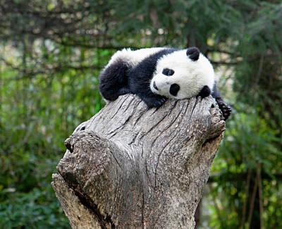 Wolong Reserve, China, Baby Panda Art Print by Alice Garland