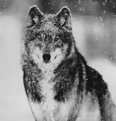 Wolve Photograph - Wolf In Yellowstone National Park by Retro Images Archive