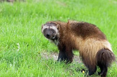 Michigan Detroit Zoo Photograph - Wolverine by Jim West