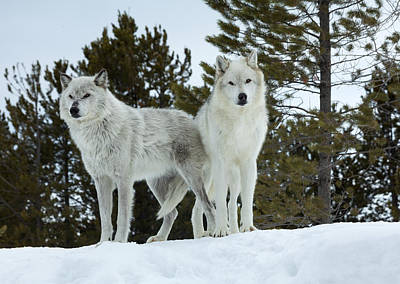 Photograph - Wolves - Partners by Fran Riley