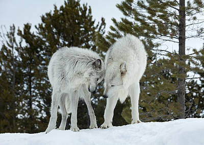 Photograph - Wolves - Submission by Fran Riley