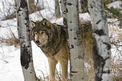 Wolves-animals-image 6 Art Print by Wildlife Fine Art