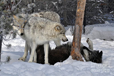 Photograph - 406p Wolves At Play by NightVisions