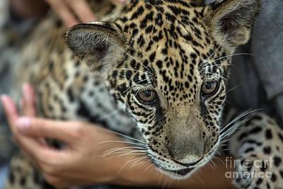 Pet Care Photograph - Woman Holding Tiny Leopard Cub by Anek Suwannaphoom