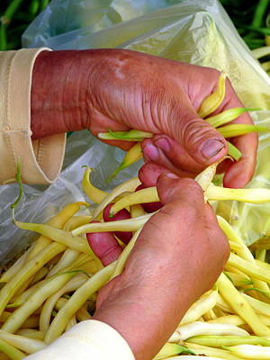 Photograph - Woman Picking Fresh Yellow Beans by Jeff Lowe