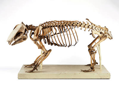 Marsupial Photograph - Wombat Skeleton by Ucl, Grant Museum Of Zoology