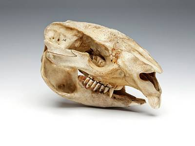 Marsupial Photograph - Wombat Skull by Ucl, Grant Museum Of Zoology