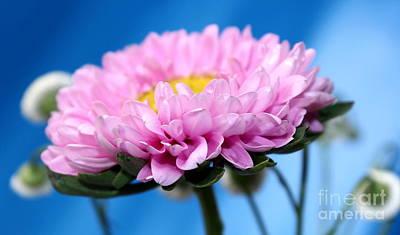 Daisy Photograph - Wonder Of Pink by Krissy Katsimbras