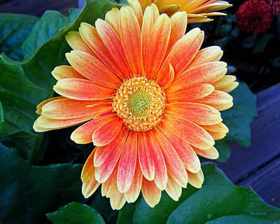 Photograph - Wonderful Daisy by Duane McCullough