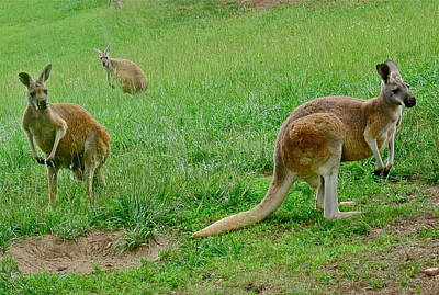 Photograph - Wonderful Wallabies by Denise Mazzocco