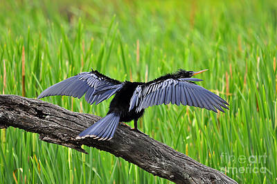 Anhinga Photograph - Wonderful Wings by Al Powell Photography USA