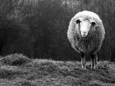 Sheep Photograph - Wondering Sheep by Ajven