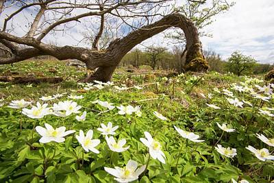 Anemone Nemorosa Photograph - Wood Anemone by Ashley Cooper