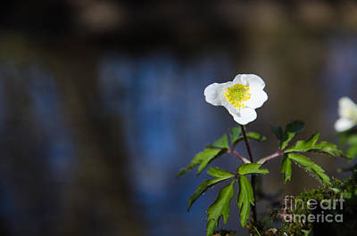 Blue Hues - Wood anemone at water background by Kennerth and Birgitta Kullman