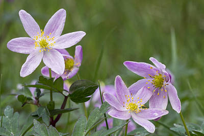 Photograph - Wood Anemone by Bob Kemp