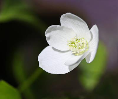 Photograph - Wood Anemone by Melinda Fawver