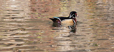 Photograph - Wood Duck 2 by Fran Riley