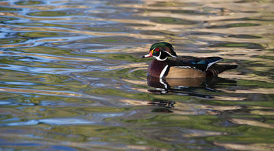 Photograph - Wood Duck 3 by Fran Riley