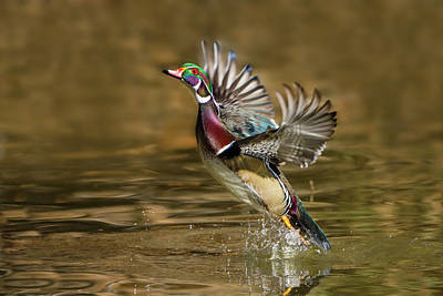 Wood Duck Photograph - Wood Duck (aix Sponsa by Larry Ditto