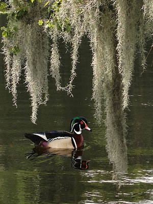 Painting - Wood Duck And Spanish Moss by IM Spadecaller