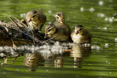 Baby Bird Photograph - Wood Duck Babies by Mircea Costina Photography