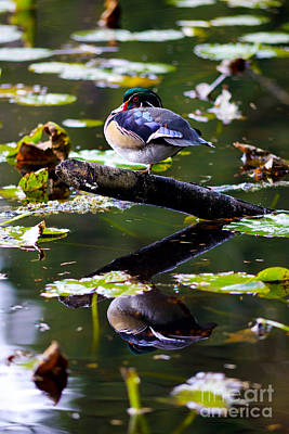 Photograph - Wood Duck Balancing Act 2 by Terry Elniski