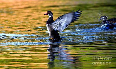 Photograph - Wood Duck Blastoff by John F Tsumas