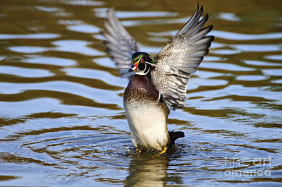 Photograph - Wood Duck - D008936a by Daniel Dempster