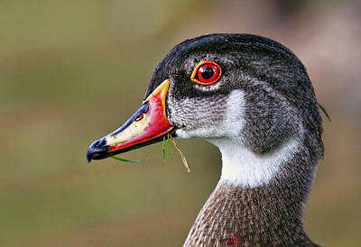 Duck Photograph - Wood Duck Drake by Marcia Colelli