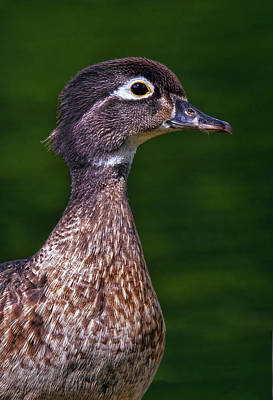 Duck Photograph - Wood Duck Female by Marcia Colelli