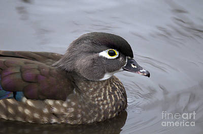 Photograph - Wood Duck Female by Sharon Talson