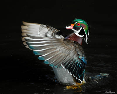Photograph - Wood Duck Flapping by Avian Resources