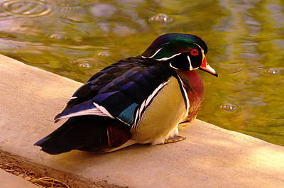 Wood Duck Hanging Out Art Print by Jeff Swan