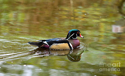 Photograph - Wood Duck In Autumn by Terry Elniski