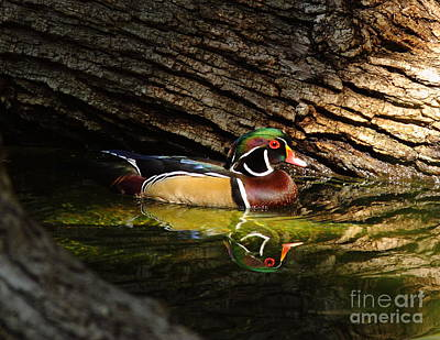 Wood Duck In Wood Art Print