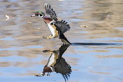 Wood Duck Profile Photograph - Wood Duck Landing On Pond -02 by Joe Maskasky