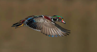 Duck Wall Art - Photograph - Wood Duck-male In-flight by Salman A